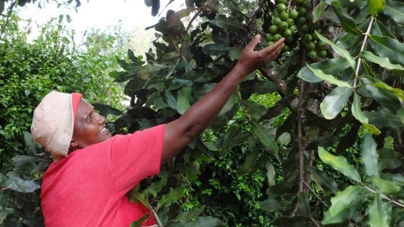 Farmers in central Kenya decry AFA ban on macadamia