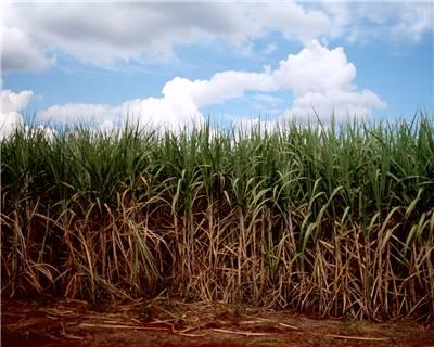 Sugarcane farming runs out sweetness in western Kenya
