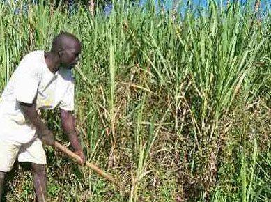 Sugarcane farming no longer sweet