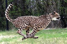 African cheetah population faces serious threats from Asian traders