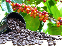 Climate change threatens coffee production in Africa
