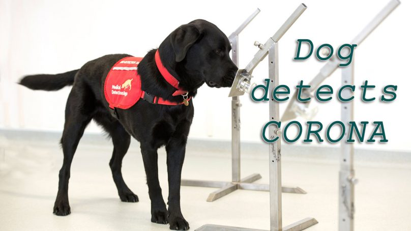 Scientists say dogs can detect coronavirus