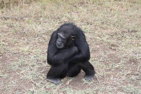 Ecotourism now big risk to great apes and other animals in the wild