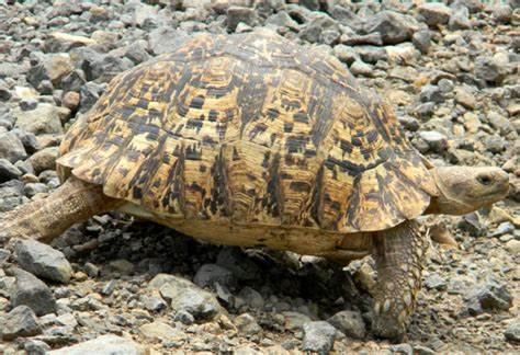 Illicit foreign markets driving up theft of eastern Africa tortoises, turtles