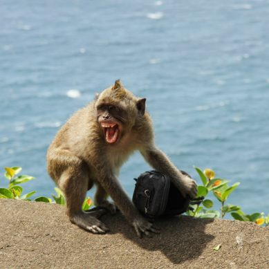 Bali's extortionist monkeys can spot high-value items, then 'demand' ransom