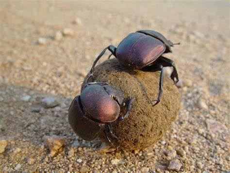 Ancient Egyptians believed dung beetles controlled the movement of the sun