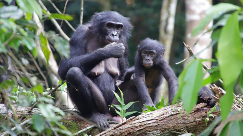 Scientists awed after bonobos in Congo Forest adopt infants outside their group