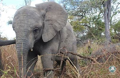 Six orphaned Zimbabwean elephant calves on verge of being released into the wild