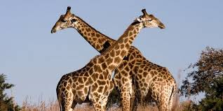 Why giraffes and some long-necked animals don't develop hypertension
