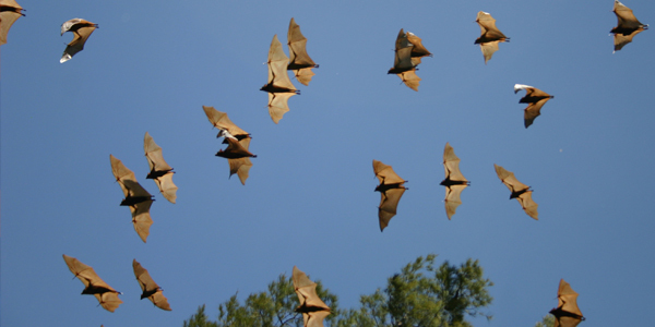 Scientists probe immune systems of bats to fathom how they host lethal viruses