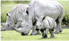 Kenya registers rapid increase in rhino population despite ravages of Covid