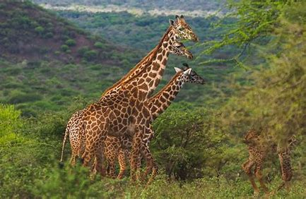 IFAW secures 30,000 acres in environmental easement deal with landowners in Amboseli ecosystem