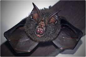 Studies: Bats' virus tolerance is higher than humans', hence the massive load of pathogens they traffic