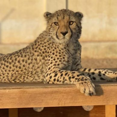 Demand for exotic pets and human-wildlife conflict driving cheetah numbers in eastern Africa to extinction