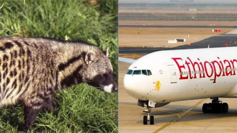 Ethiopian Airlines comes under scathing criticism as key perpetrator of illicit and cruel global wildlife trade