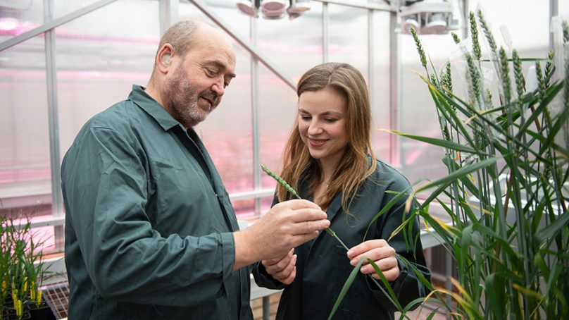 Food securityGene-edited wheat cleared for first field trial in the United Kingdom