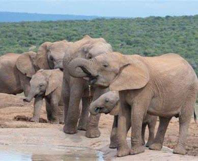 How ivory trading to finance civil wars led to evolution of tuskless herds of elephants in Africa